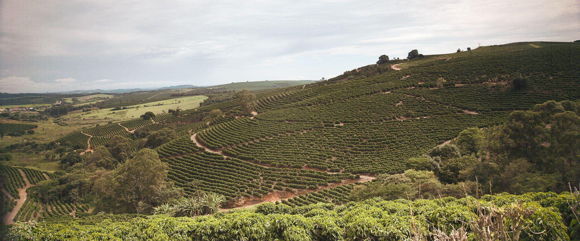 Hillside coffee field